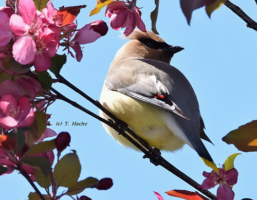 Cedar Waxwing in blooming Crabapple Tree