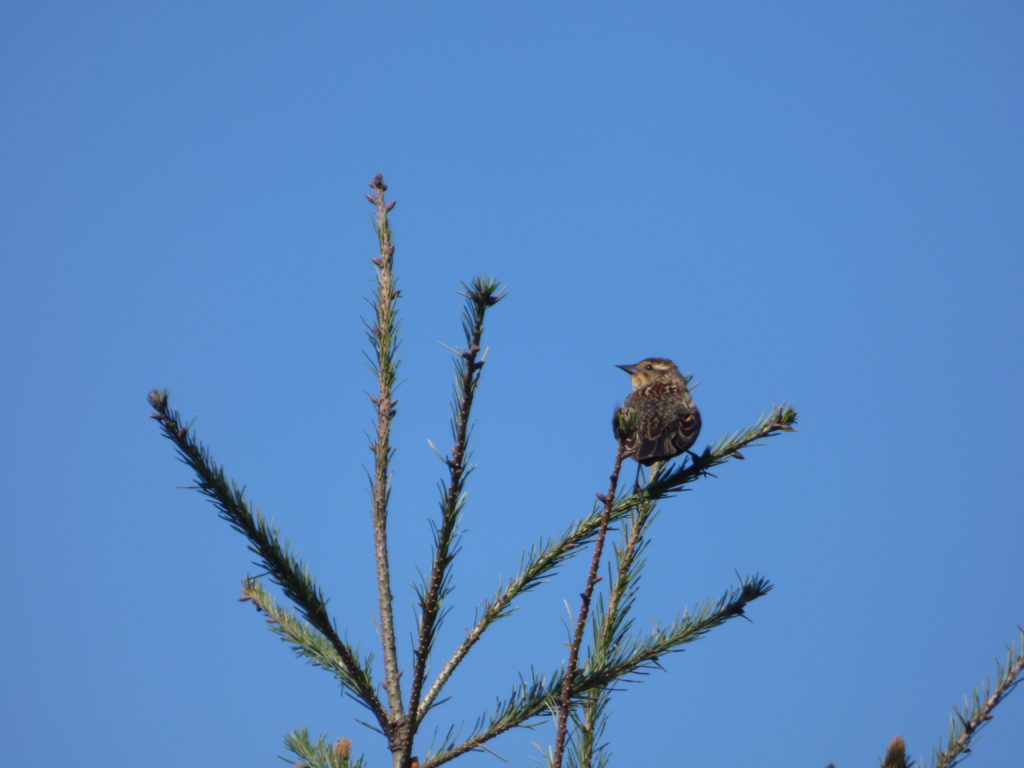 Female Red-winged Blackbird. Her drabber colour is designed not to attract attention to herself as she sits on the nest.