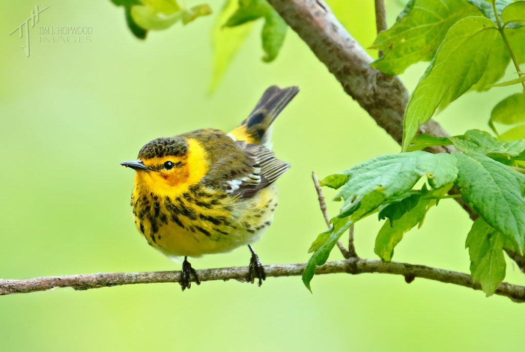 A curious Cape May Warbler foraging in the tree-line.