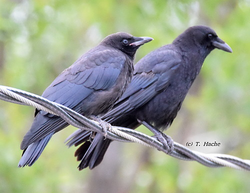 Juvenile Crow (left) with adult