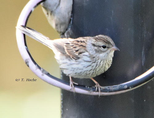 Juvie Chipping Sparrow
