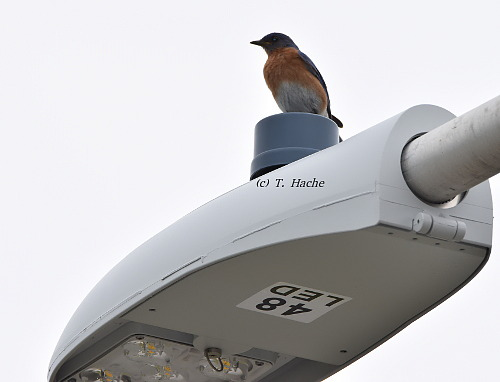 Male Eastern Bluebird1