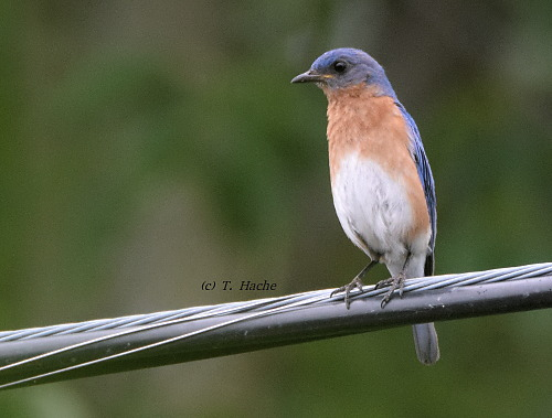 Male Eastern Bluebird2