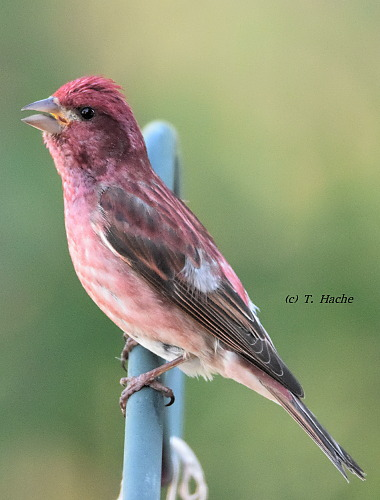 Singing male Purple Finch