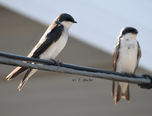 Tree Swallows2