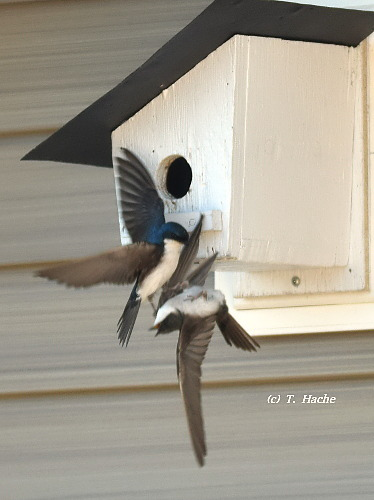Tree Swallows3