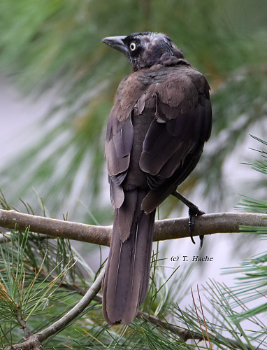 Molting Grackle