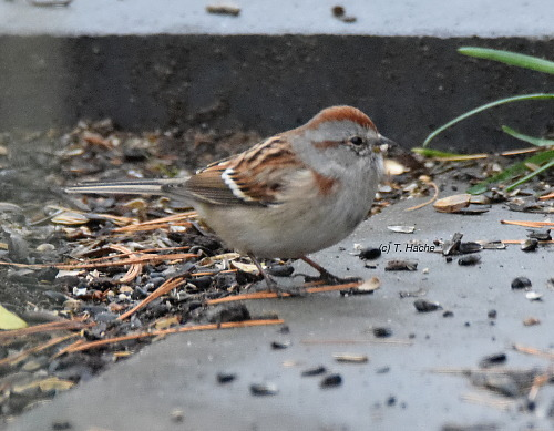 amereican-tree-sparrow