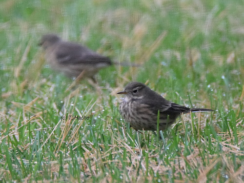 american-pipits