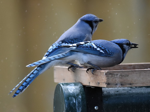 blue-jays-in-a-shower