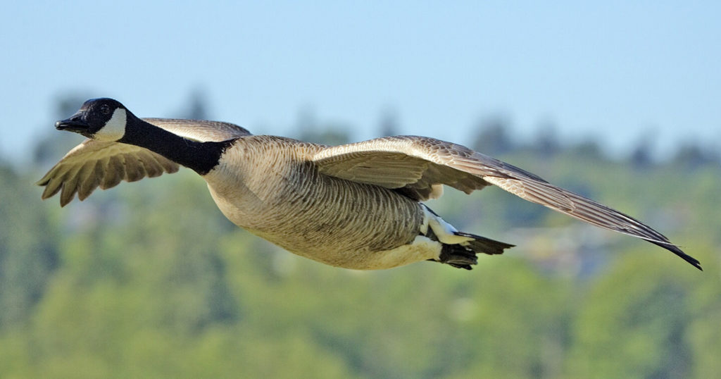 Canada Goose in flight. Photo by and courtesy of Alan D. Wilson. (CC license.)