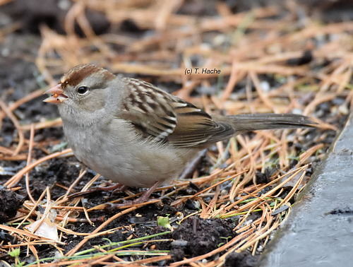 female-white-crowned-sparrow