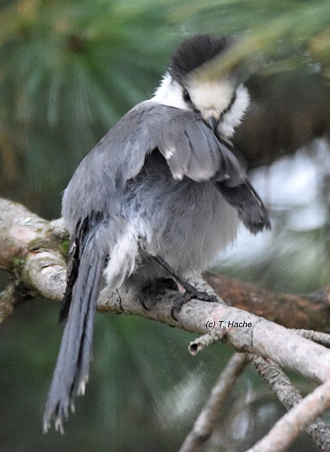 gray-jay-preening-after-rain