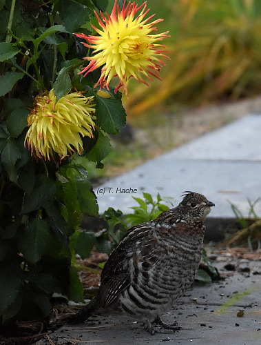 grouse-under-dahlias