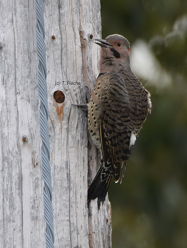 male-northern-flicker