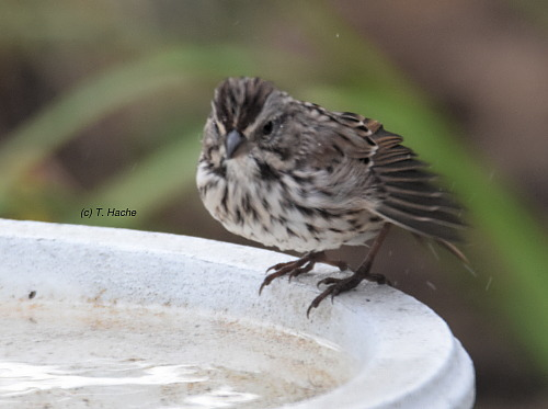 song-sparrow-after-bath