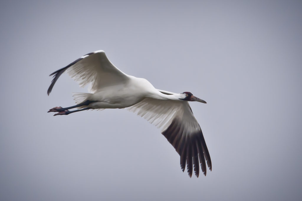 Whooping Crane in flight. USDA Public Domain image.