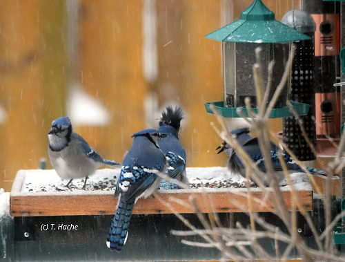 4-blue-jays-on-platform-feeder