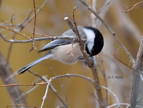 chickadee-snacking