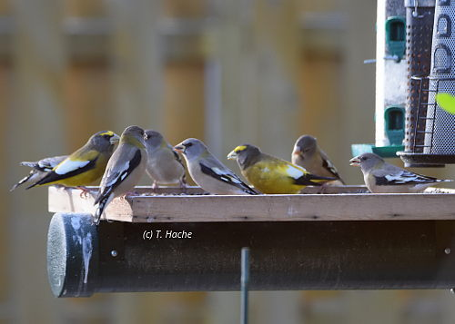 evening-grosbeaks-on-platform-feeder