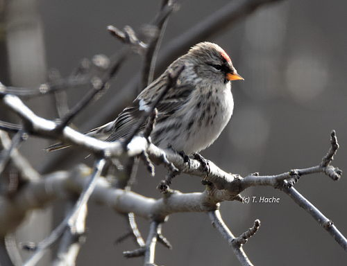 female-common-redpoll
