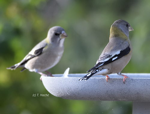 female-evening-grosbeaks-on-winter-birdbath
