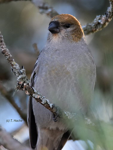 female-pine-grosbeak
