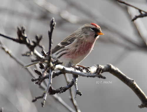 male-common-redpoll