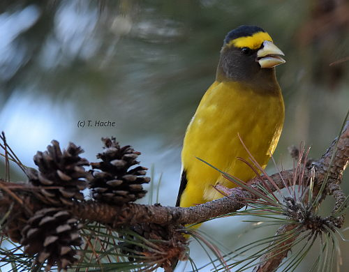 male-evening-grosbeak