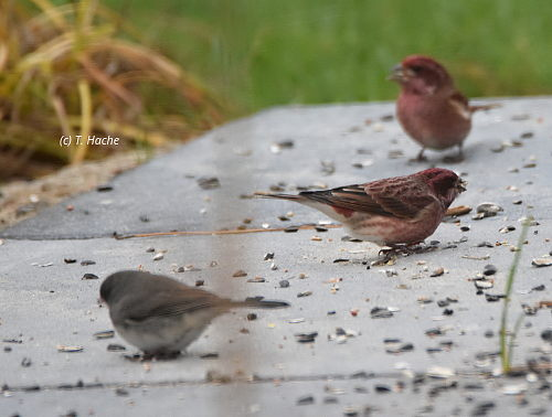 purple-finches-with-junco