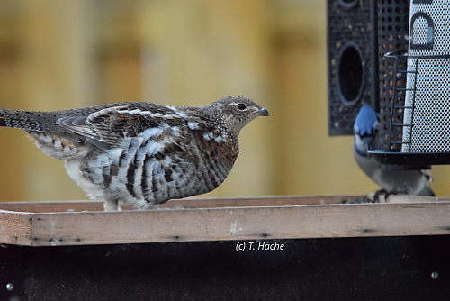 ruffed-grouse-and-blue-jay-on-platform-feeder